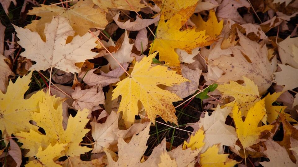Des feuilles d'érable jaunes recouvrent le sol.