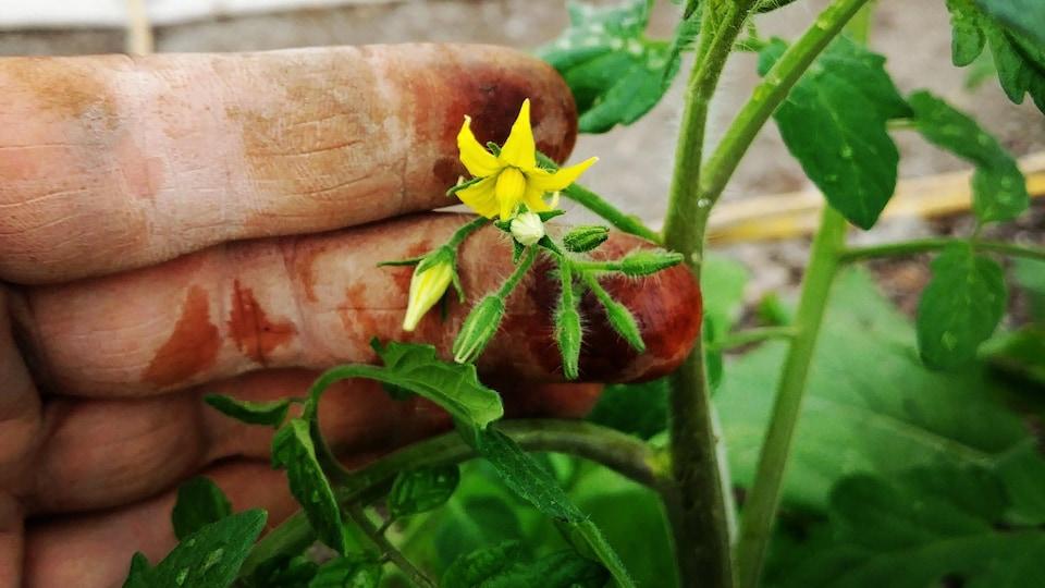 Une fleur de tomate dans la main d'un agriculteur
