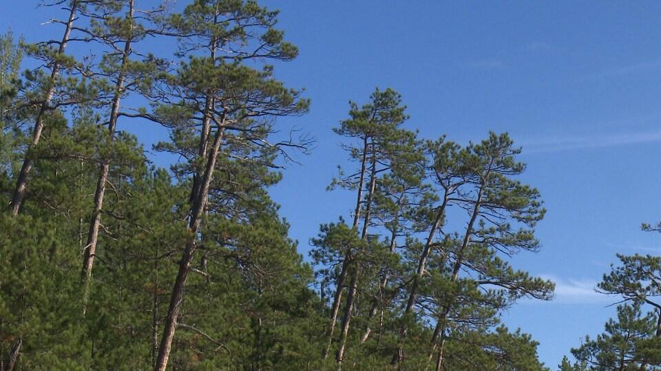Des arbres se dressent fièrement au sein d'une forêt.