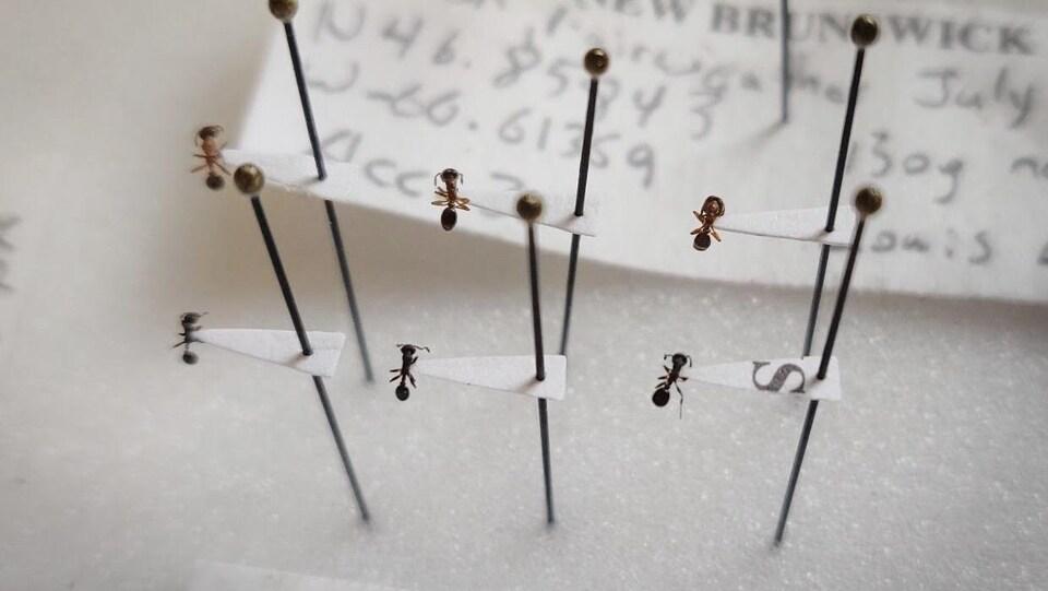 Les fourmis piquées sur des aiguilles.