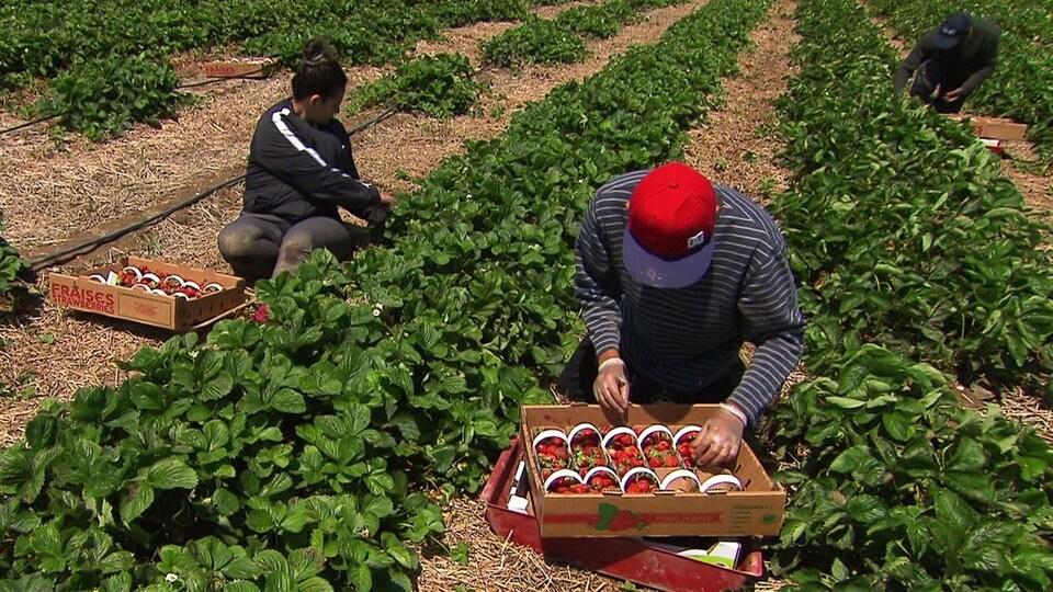 Une femme et deux hommes remplissent des paniers de fraises, accroupis près des plants.