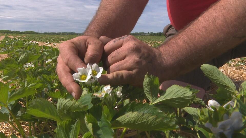 Des fraisiers dans un champ de l'Î.-P.-É.