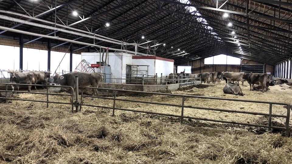 Le troupeau de vaches de la Fromagerie Médard dans la ferme.