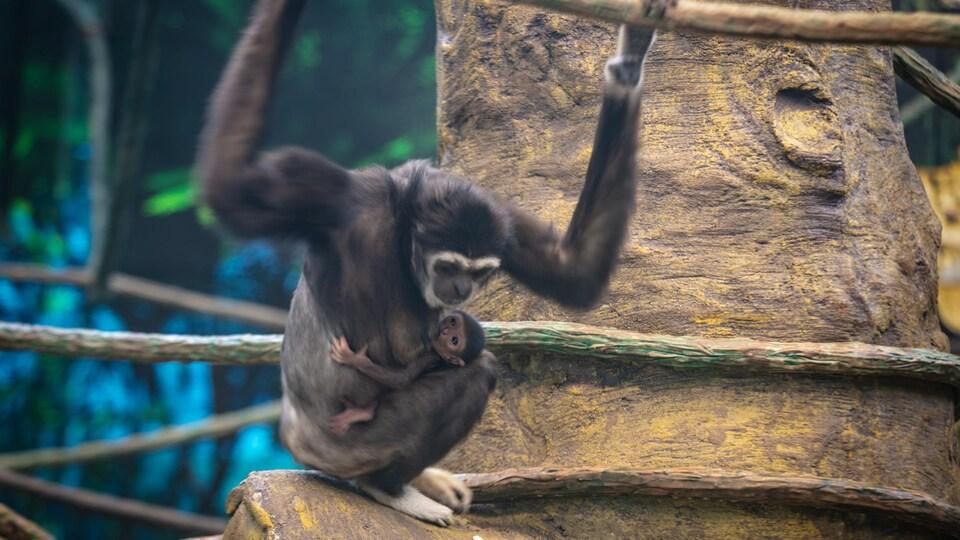 Une femelle gibbon et son bébé accroché à son ventre.