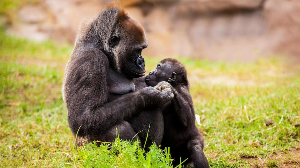 Une femelle gorille allaite son petit.