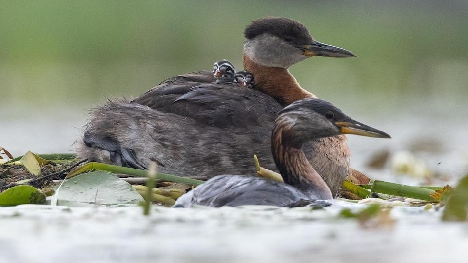 Deux oiseaux flottent sur l'eau.