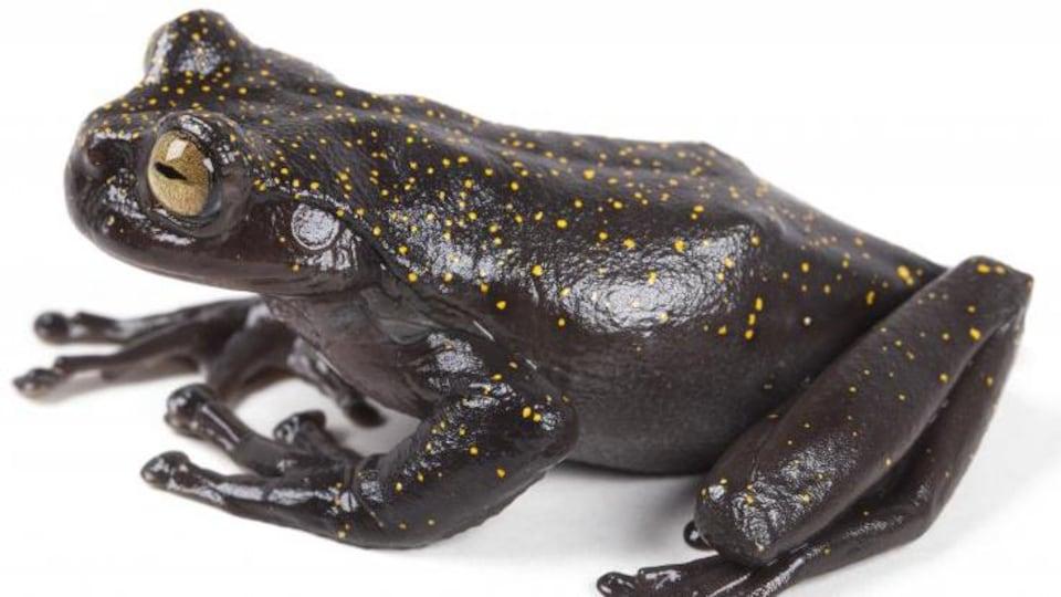 La grenouille sur un fond blanc.