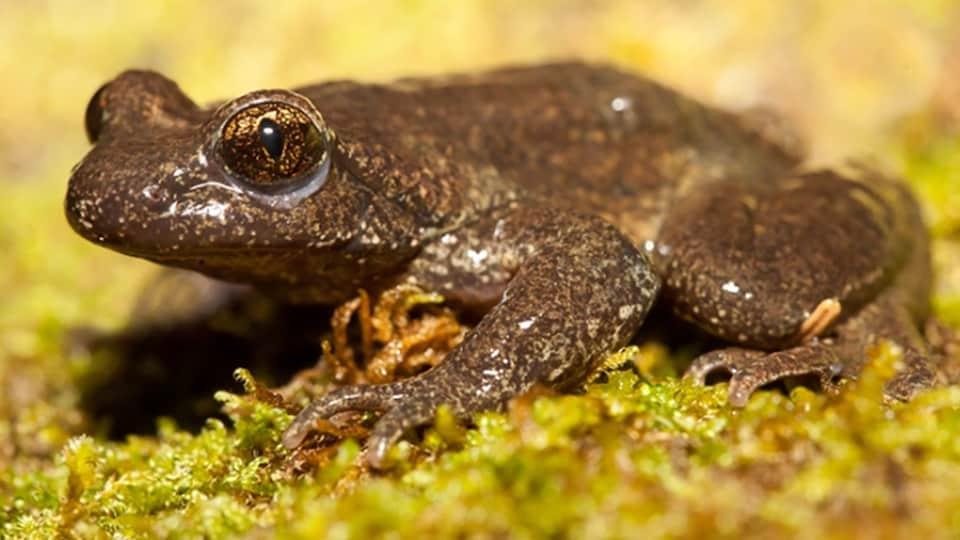 Une grenouilles sur du lichen