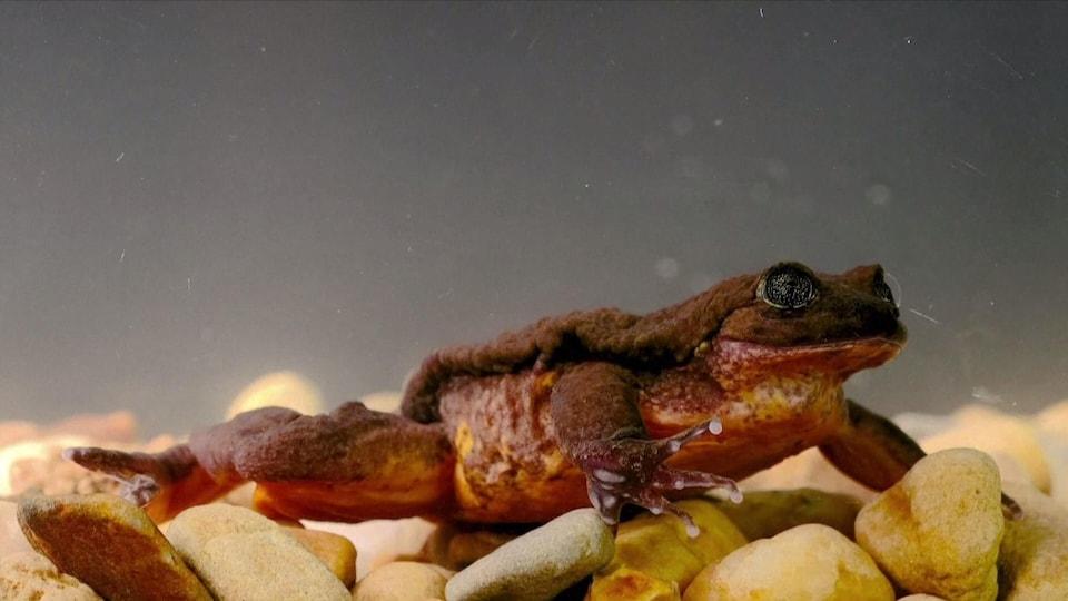 Juliette, une petite grenouille brune.