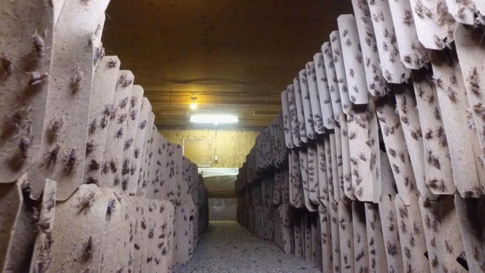 On voit des centaines de grillons de la ferme d'élevage posés sur de grands cartons rectangulaires gris, formant de de longues rangées.