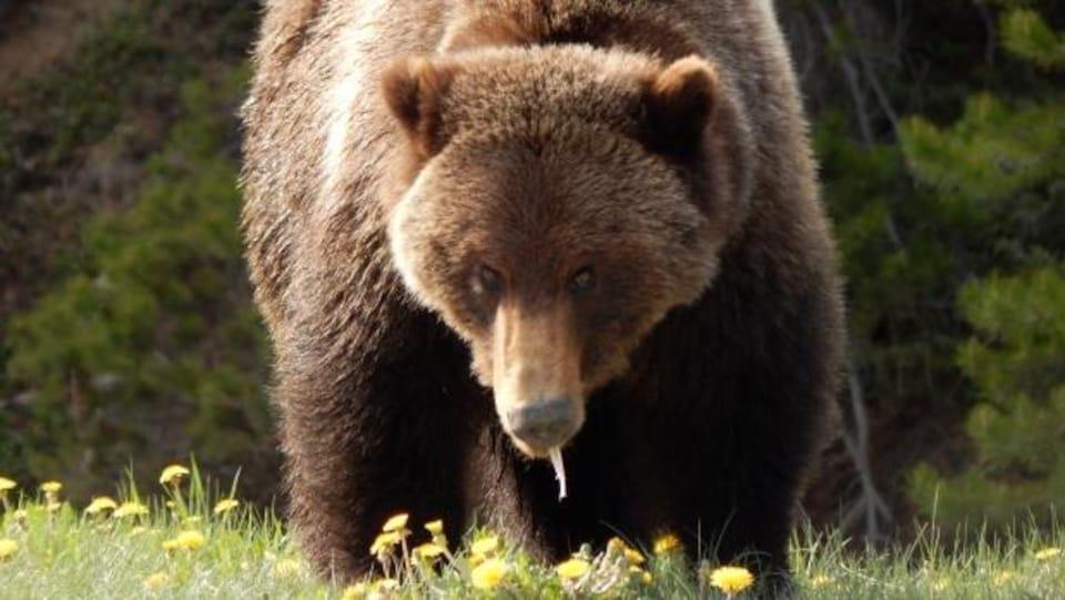 Un ours grizzli.