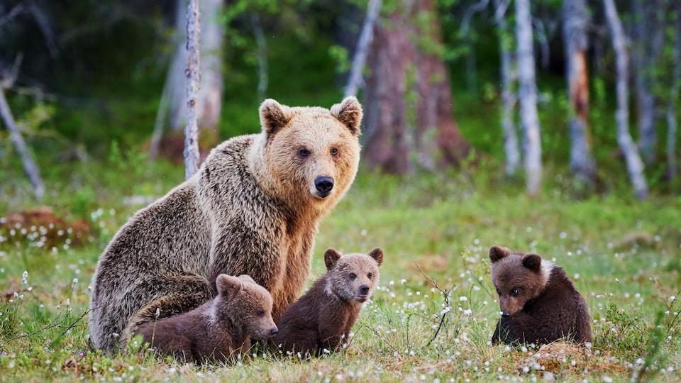 Une femelle grizzly avec trois petits.