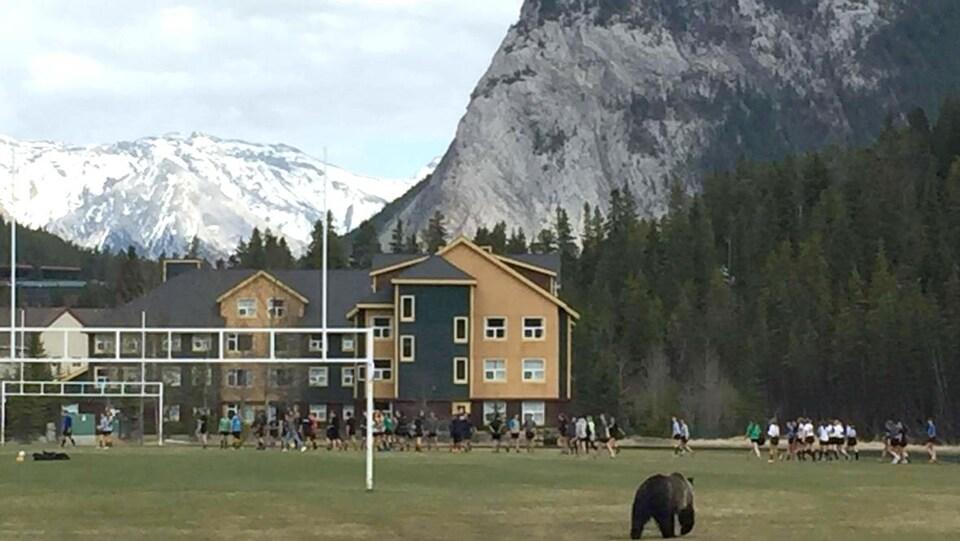 Le grizzly 148 sur le terrain de rugby d'une école de Banff en mai.
