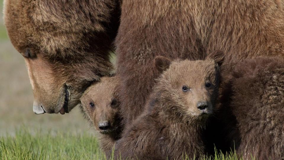 Une mère grizzly avec ces deux oursons.