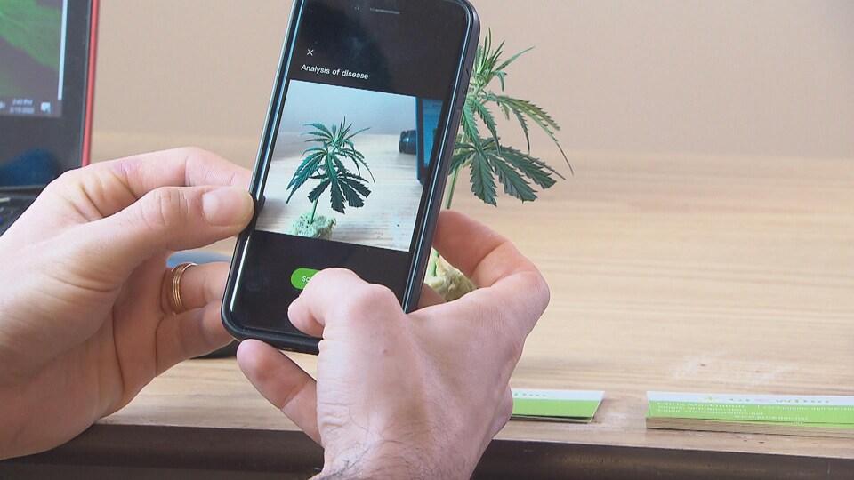 Avec un téléphone cellulaire, une personne prend une photo d'un plant de cannabis.
