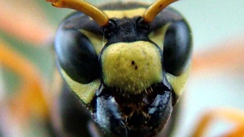 La tête d'une guêpe Polistes dominula.