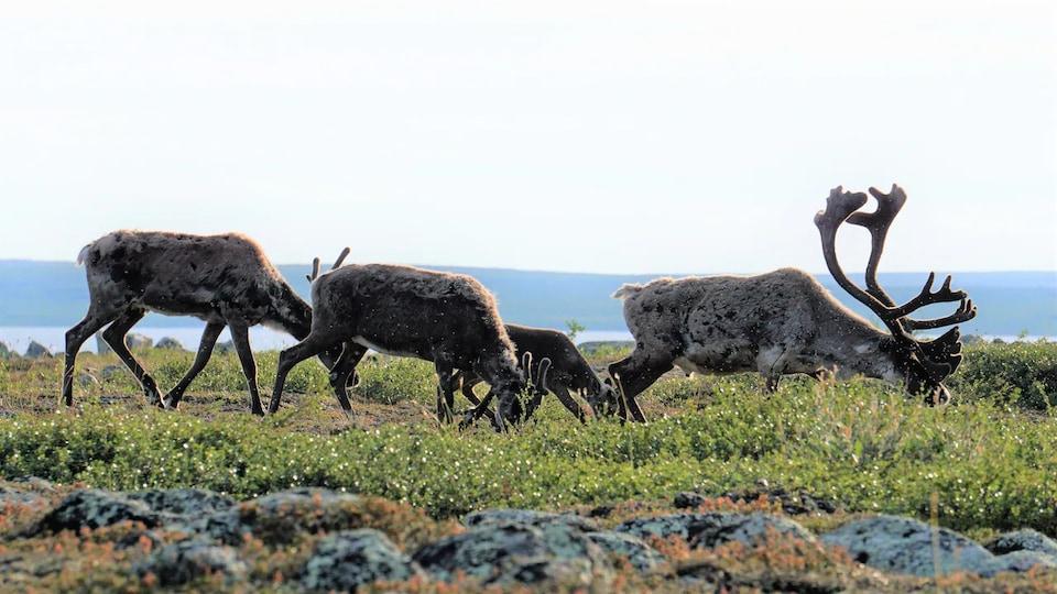 Des caribous de la harde de Bathurst en train de brouter au bord d'un plan d'eau.