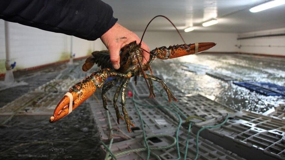 Gros plan sur un homard vivant tenu par la main d'un pêcheur.