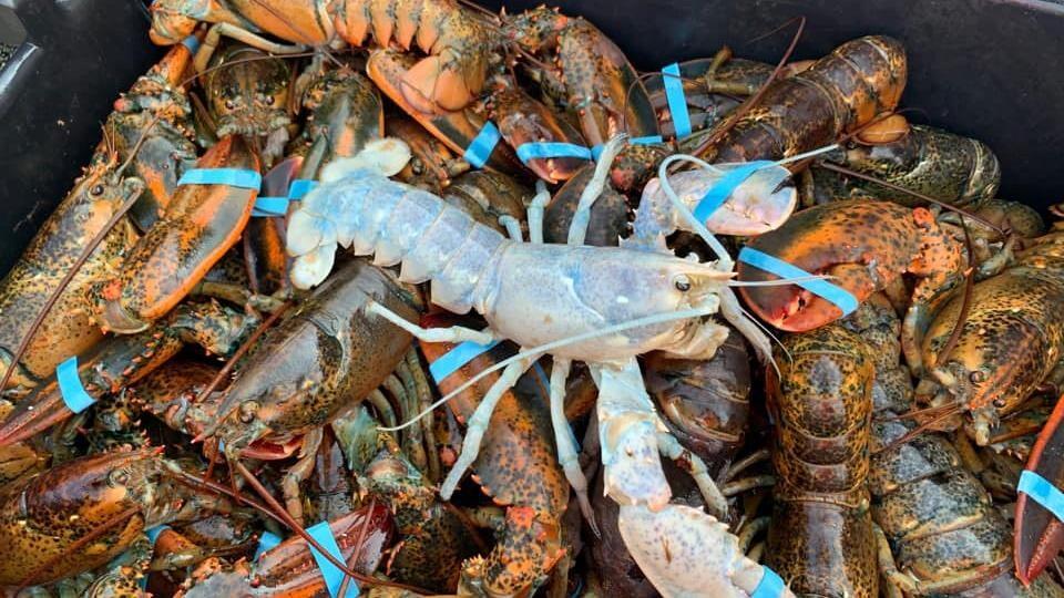 Un homard de couleur pâle sur des homards de couleur foncée.