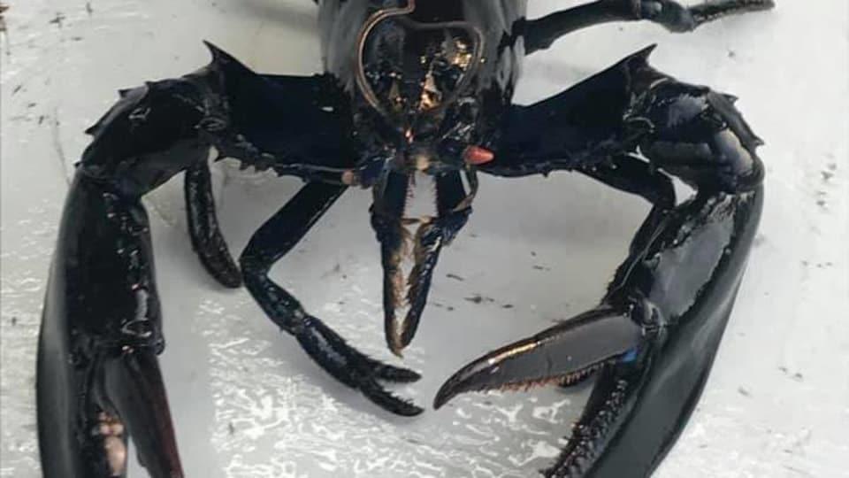 Un homard noir.