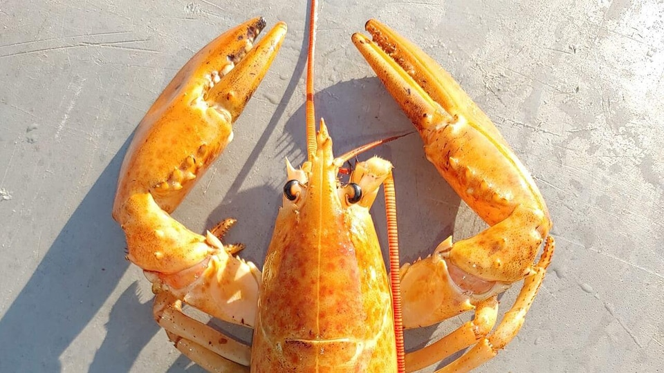 Un homard jaune-orange.