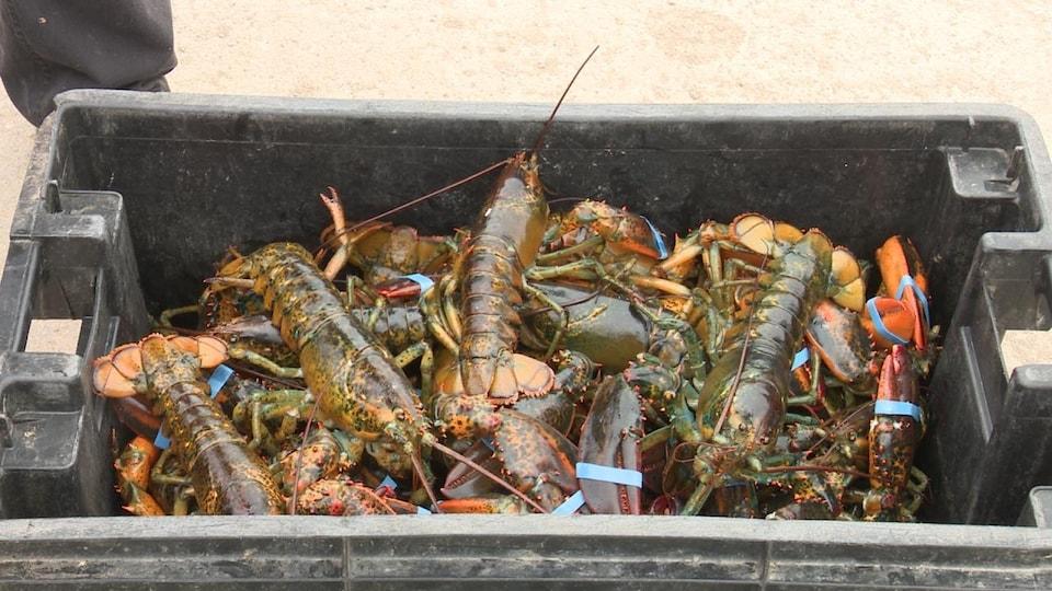 Une boîte pleine de homards.