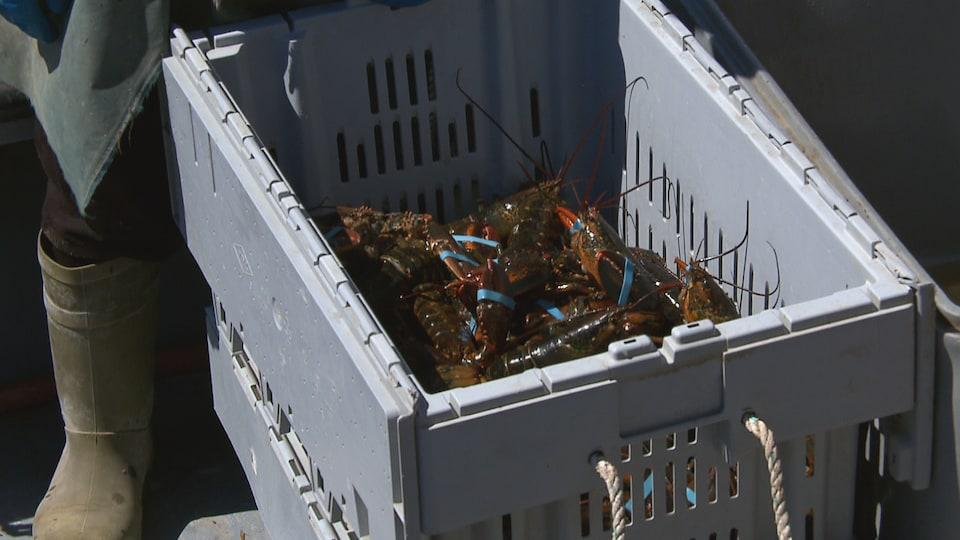 Dans un bac se trouvent plusieurs homards. Ils ont les pinces attachées par un élastique.