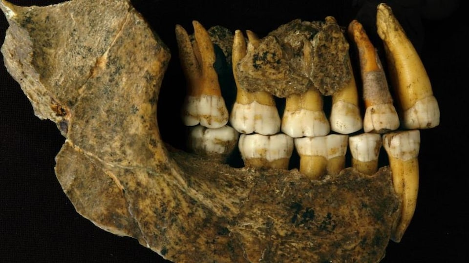 La mâchoire d'un Néandertalien.
