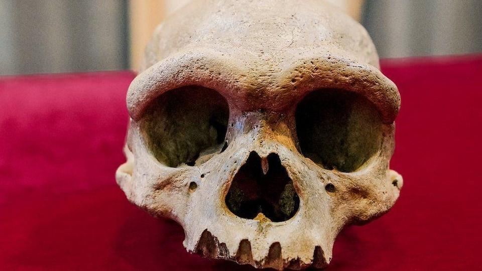 Un crâne humain fossilisé.
