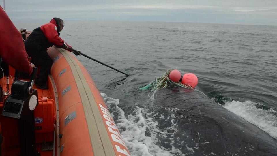 À bord d'un canot pneumatique, il tend la perche vers une baleine empêtrée dans un cordage de pêche