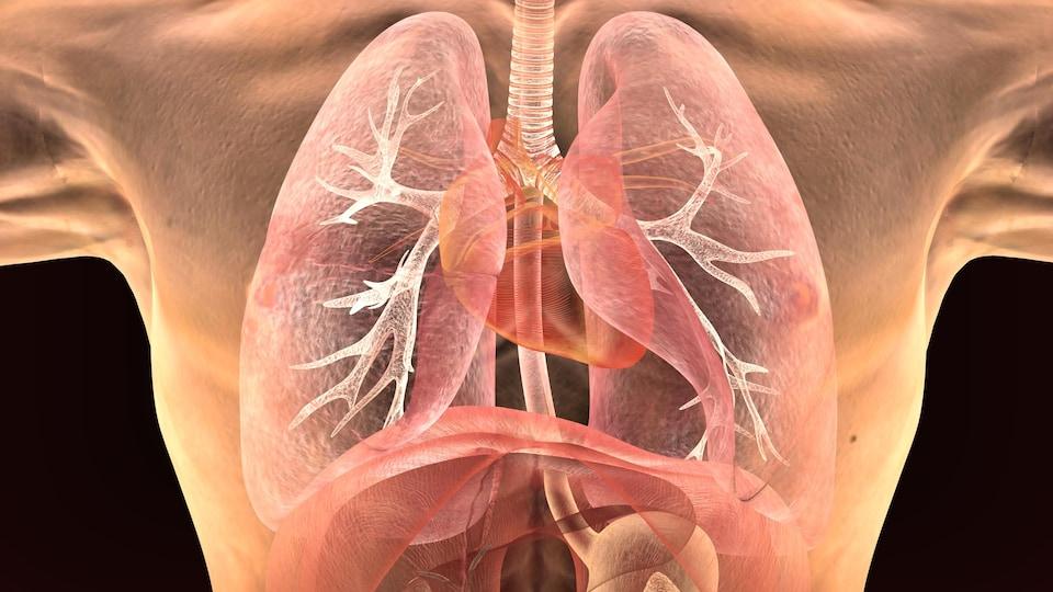 Des poumons dans une cage thoracique.