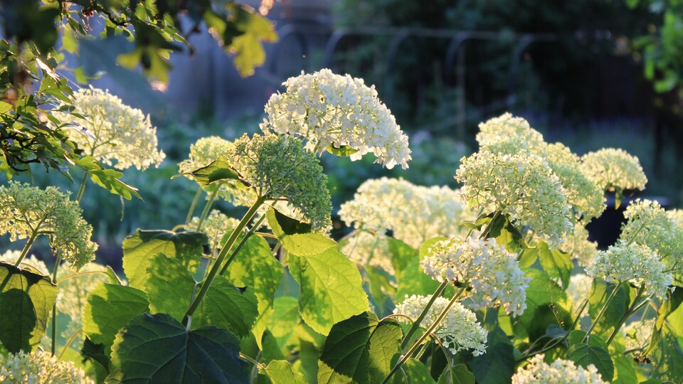 Romantic Hydrangea arborescens Annabelle, backlit by the low evening sun in summer.