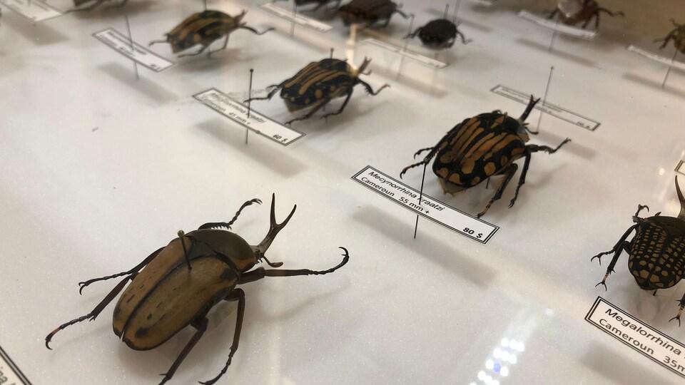Des insectes de la collection de Pierre-Olivier Ouellet.