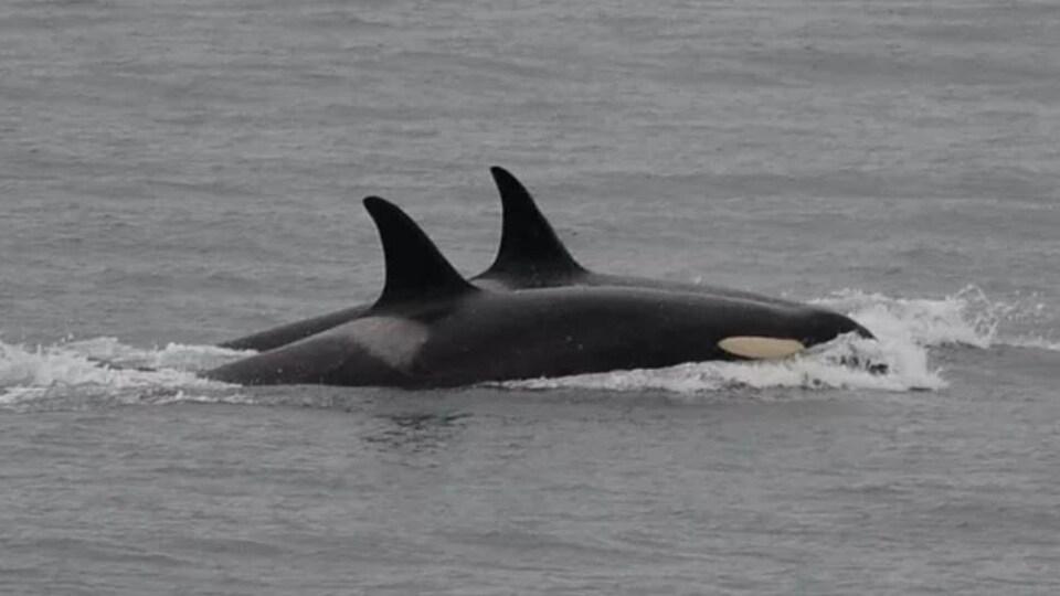 On voit le dos et la nageoire dorsale de deux orques qui filent à la surface de l'eau.