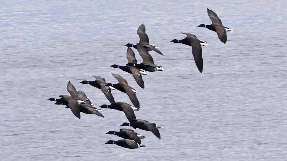 Plusieurs oies volent ensemble au-dessus de la mer.