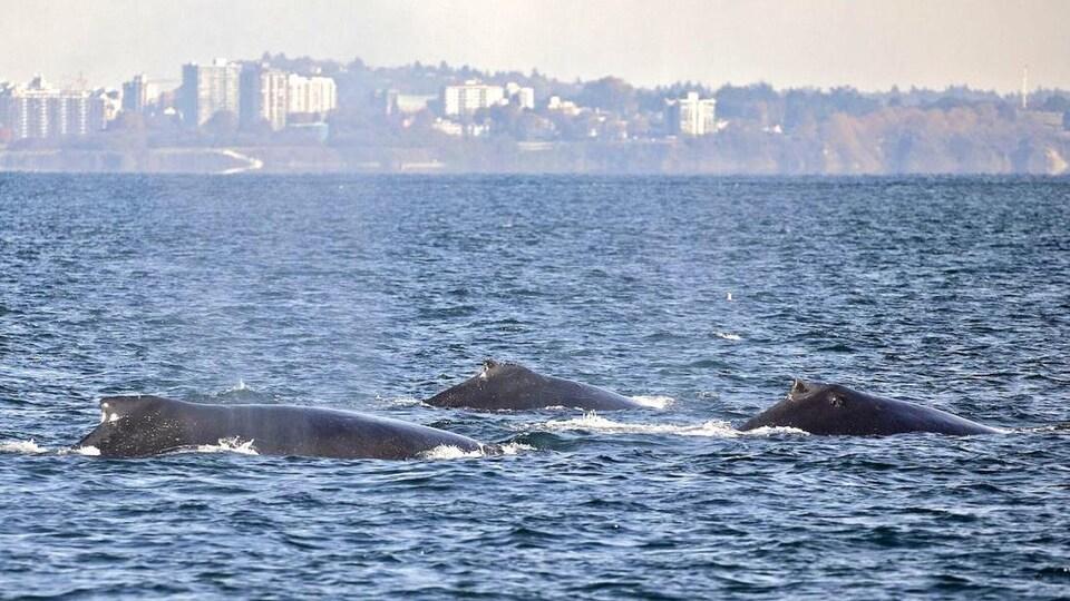 Trois baleines dans la mer.