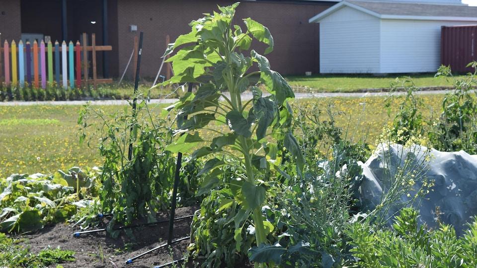 Des légumes poussent à côté de l'école secondaire de Trois-Pistoles.