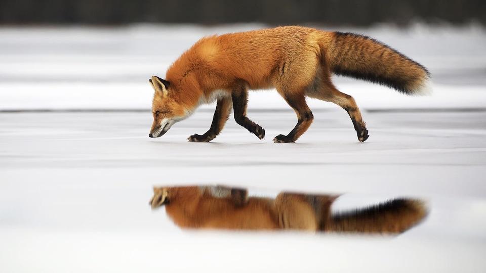 Un renard sur la glace.