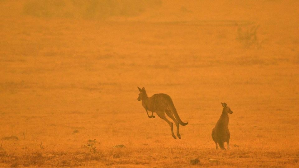 Deux kangourous dans une zone enveloppée par une fumée orange.