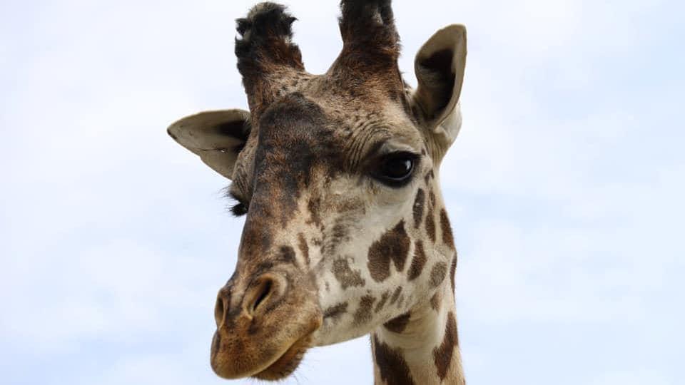 La tête d'une girafe.
