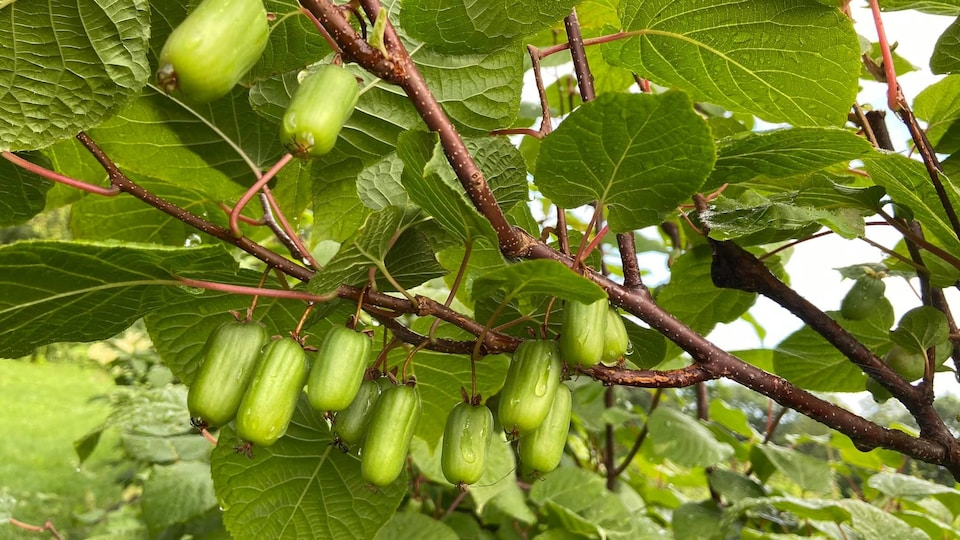 Des kiwis suspendus à une branche