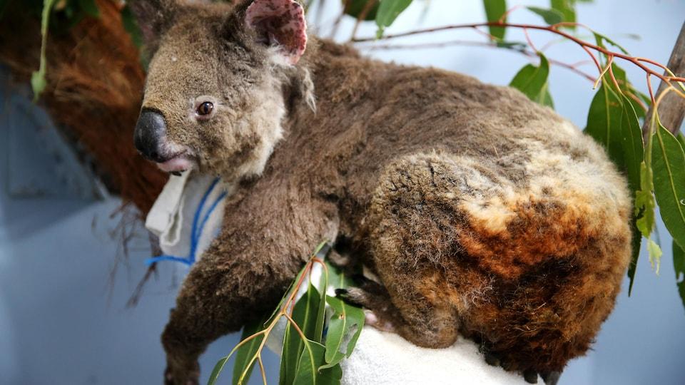 Un koalas avec l'arrière train brûlé