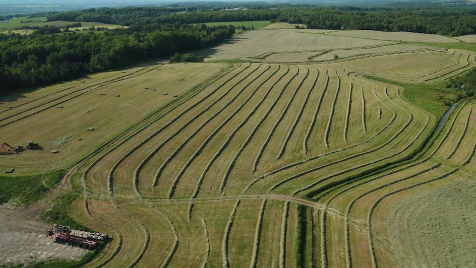Image aérienne de grands champs en culture fourragère, le foin coupé est disposé en andain.