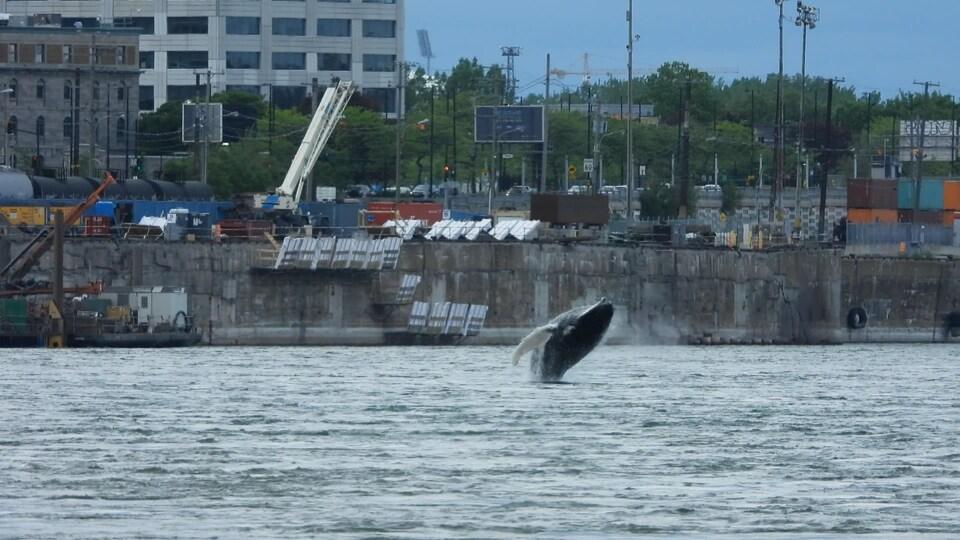 La baleine a offert un magnifique spectacle aux nombreux curieux venus l'observer dans le Vieux-Port de Montréal.