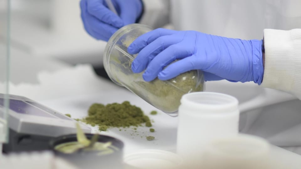 Un scientifique manipulant du cannabis dans un laboratoire.