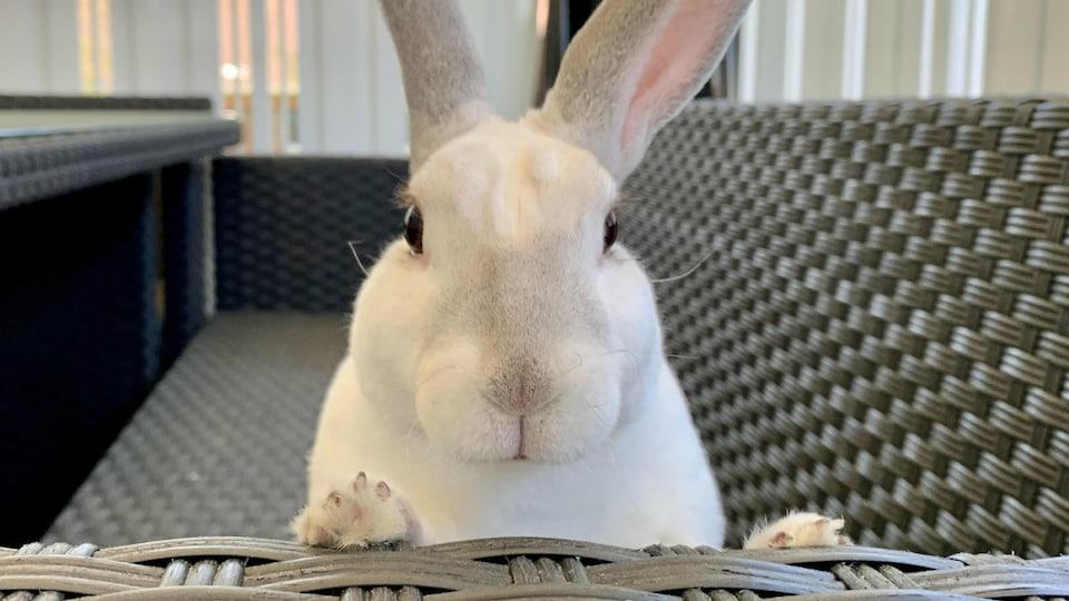 Un lapin regarde la caméra
