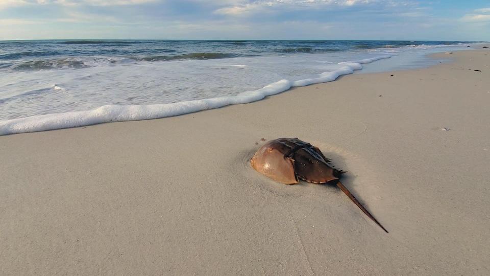 Une limule sur le sable.