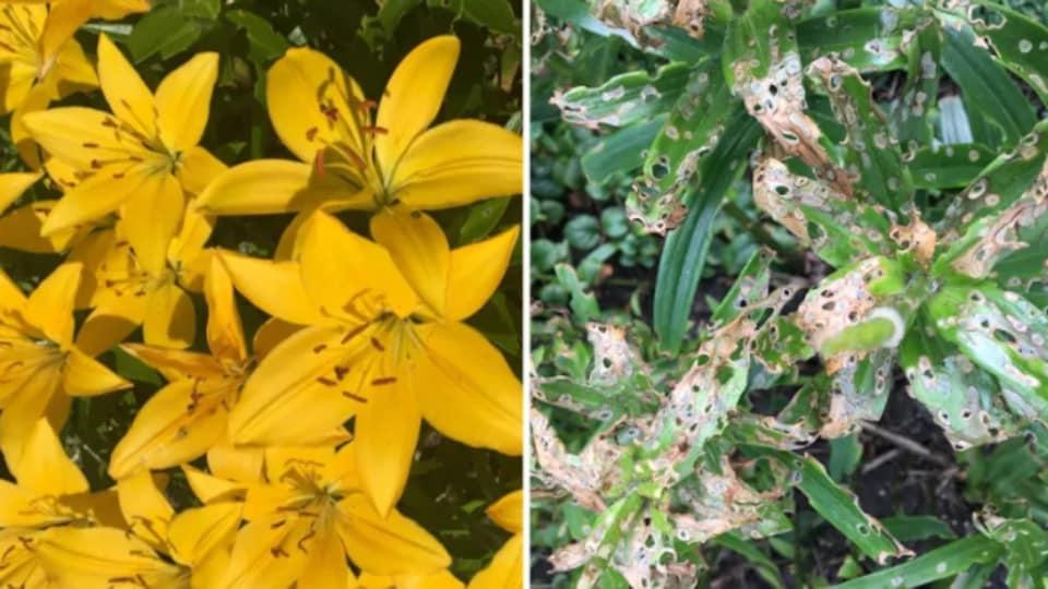 Des fleurs de lis en santé (gauche) et dévastée par le crocère du lis (droite).