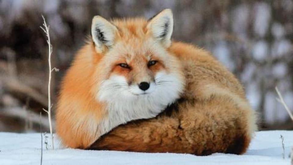 La couverture du livre, où on voit un renard couché sur la neige.