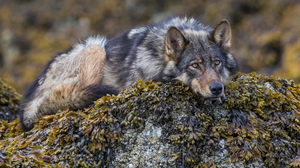 Un loup allongé sur un rocher